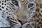Leopard - Mxabene Male by Michael  Moss