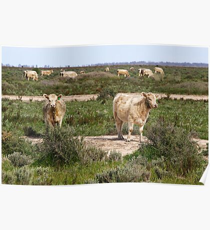 Cattle on The Long Paddock NSW Poster