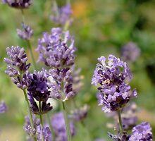 Lavender by Carol Bleasdale