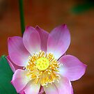 Large Lotus Flower #2, Thailand  by Carole-Anne
