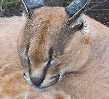 Caracal by Lynn Bolt
