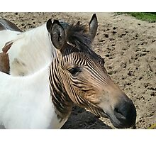 Cool Zonkey