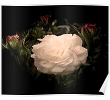 White Cloud Roses Poster