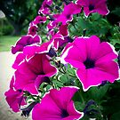 Lovely Petunias by Rewards4life