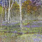 Bluebells in Silver Birch Woods by PhotoLouis