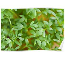 cress leaves of fresh sprouts Poster