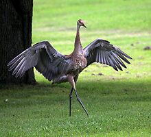 Sandhill Crane Cape Dancer by Renee Blake