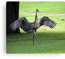 Sandhill Crane Cape Dancer Canvas Print