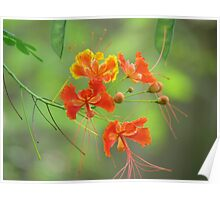 Miniature poinciana flowers photo Poster