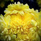 Alva's Supreme Dahlias by Rewards4life
