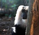 Gray Beard ,Lion Tailed Macaque by Elaine  Manley