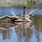 Drift Wood Reflection  by Payne24