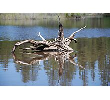 Drift Wood Reflection  Photographic Print