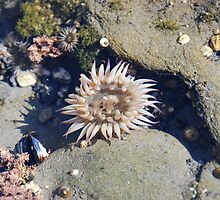 Beautiful Sea Anemone by Payne24