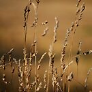 Golden Grasses by Luke Griffin