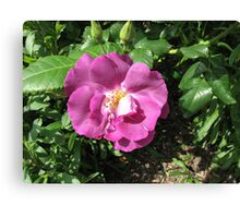 An Old English Rose Canvas Print