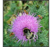 A Bee and Flies on a Thistle Flower Photographic Print