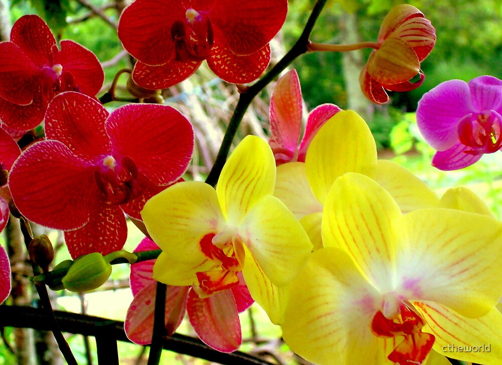 WILD ORCHIDS  by ctheworld