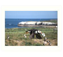Fratercula arctica (Atlantic puffin) Art Print