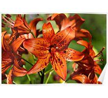 Lilium maculatum Poster