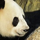 Female Panda, Adelaide Zoo by Adam Jan Dutkiewicz