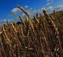 Golden Wheat by Bouzz