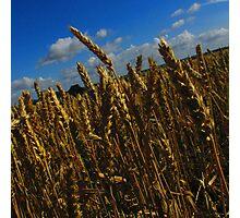 Golden Wheat Photographic Print