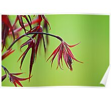 baby Japanese Maple leaf Poster