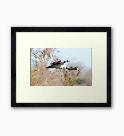 Saddle-billed Stork Framed Print