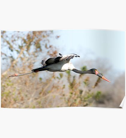 Saddle-billed Stork Poster