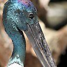 Black-necked Stork by EnviroKey