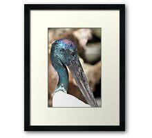 Black-necked Stork Framed Print