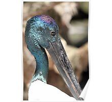 Black-necked Stork Poster