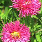 Asters in Hot Pink by WienArtist