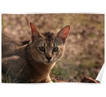 Tiny Chausie Poster