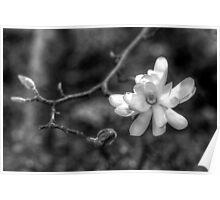 Magnolia magic Poster
