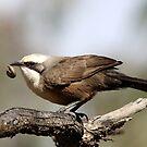 Grey-crowned Babbler by EnviroKey