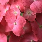 Coral Sea Of Hydrangea by coffeebean
