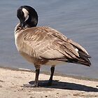 Canadian Goose by TigerBomb