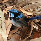 Male Superb Fairy Wren by Paula McManus