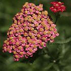 Achillea by coffeebean