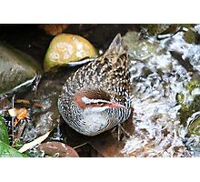 Buff-banded Rail Photographic Print
