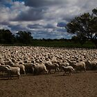 Merino Sheep by Anna Ryan