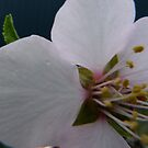 Almonds this Spring by DEB CAMERON
