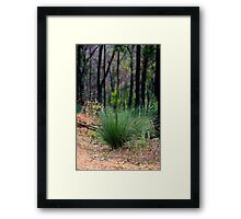 Young Xanthorrhoea Framed Print