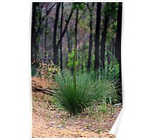 Young Xanthorrhoea Poster
