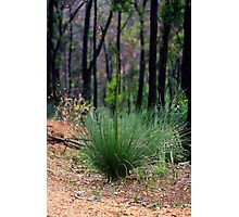 Young Xanthorrhoea Photographic Print