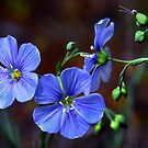 Wild Blue by Charles & Patricia   Harkins ~ Picture Oregon