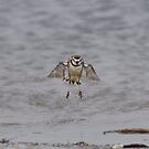 Fluffed Plover by Kathy Cline