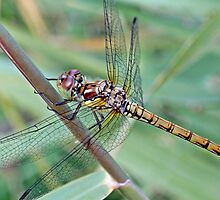 A stunning Dragonfly by Medijones